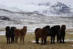 Les fameux chevaux islandais
